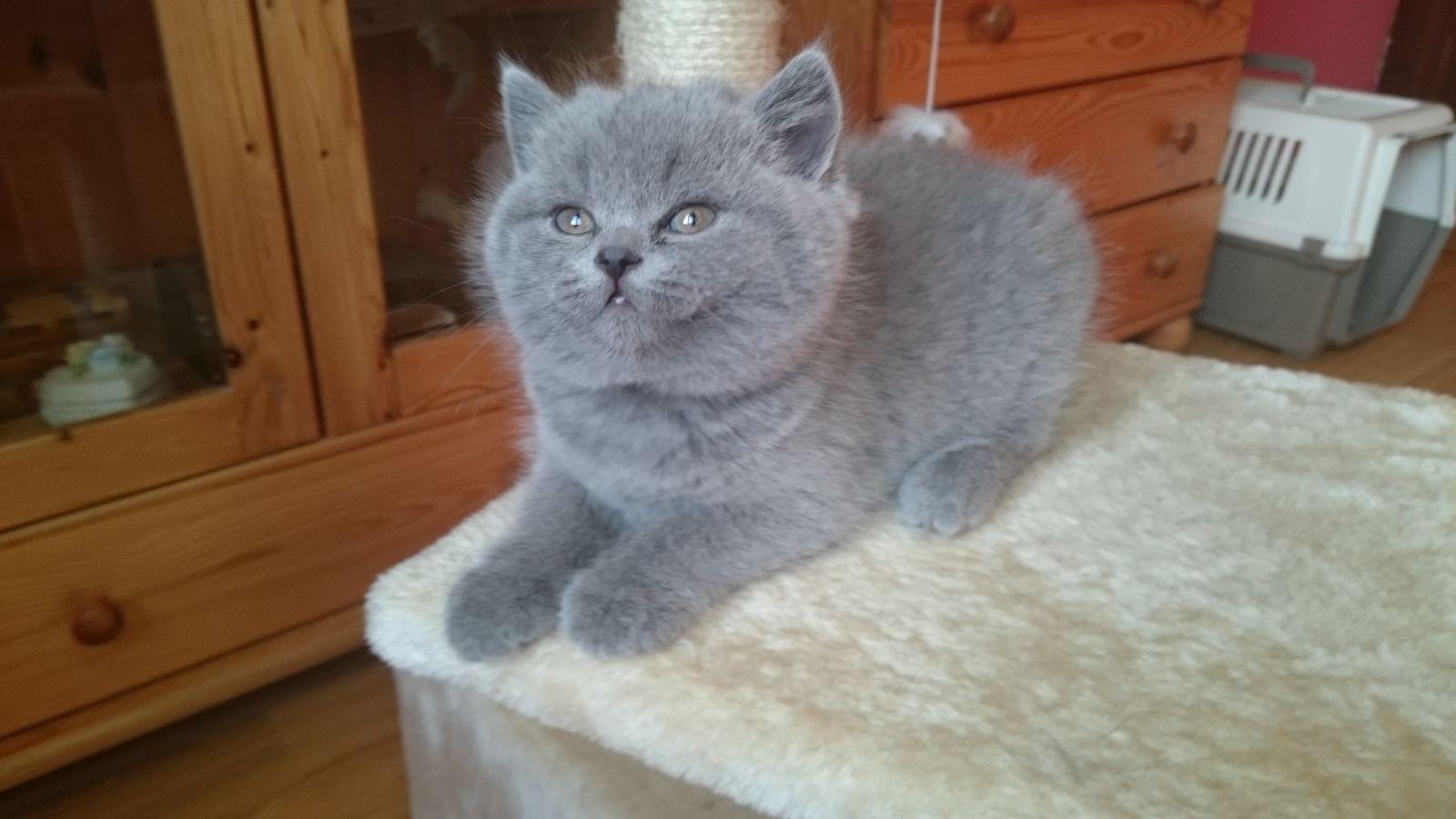 Groovy Hodowla Kot brytyjski krótkowłosy, Niekanin - Kołobrzeg OZ25