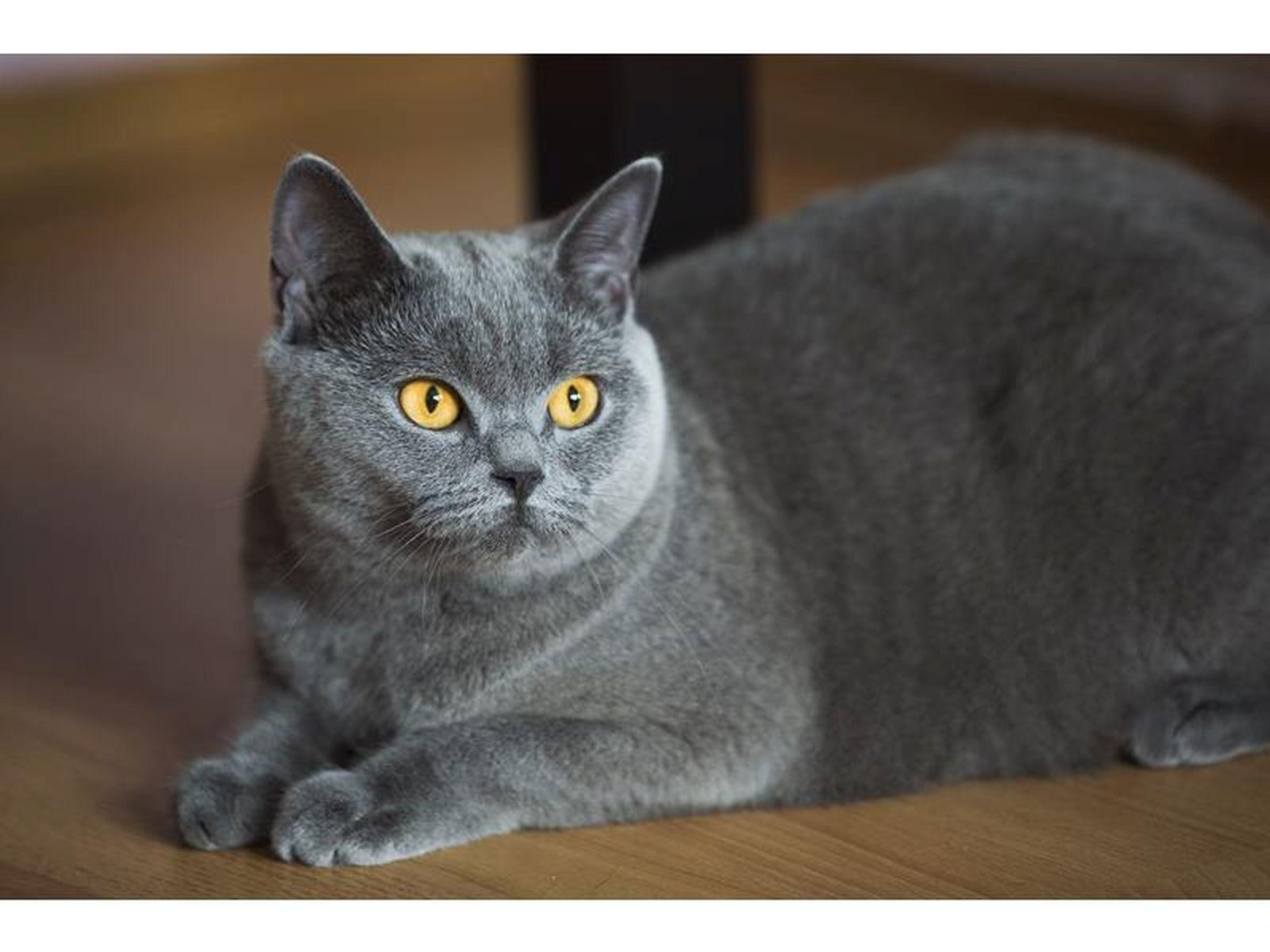 Wybitny Hodowla Kot brytyjski krótkowłosy , Ostrołęka, mazowieckie KK86